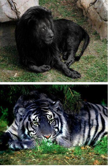 Dos de las criaturas más extrañas de la tierra. El león y el tigre negro negro