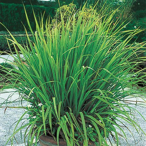 Lemon Grass Is An Herb That Can Be Grown As A Perennial In Zones 9 10 And As An Annual Elsewhere Can Be Used To Fl Lemongrass Plant Planting Herbs Lemon Grass