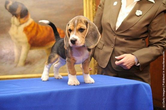 Beagle Puppies Are The Cutest Beaglepups Smartest Dog Breeds