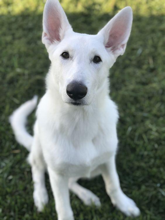 40 White German Shepherd Names German Shepherd Puppies White