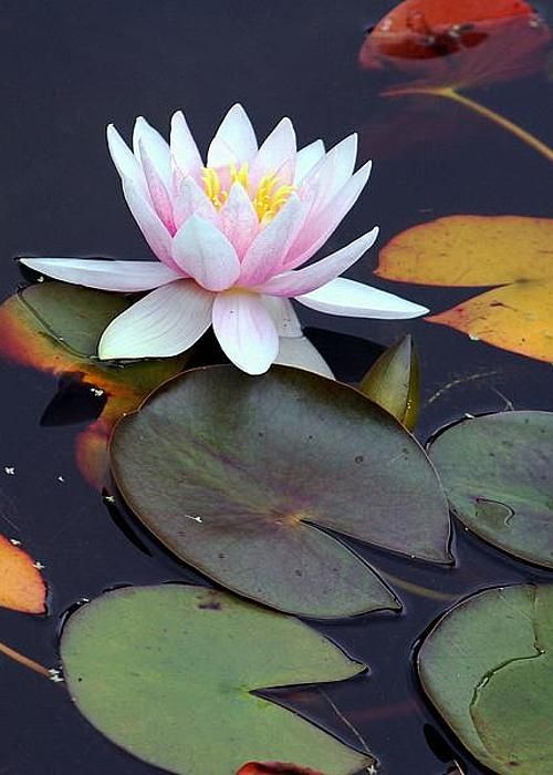 Water Lily by Frank Luxford