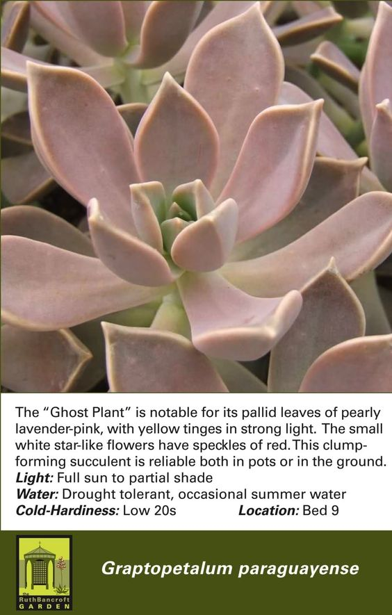 Graptopetalum paraguayense 'Ghost Plant'