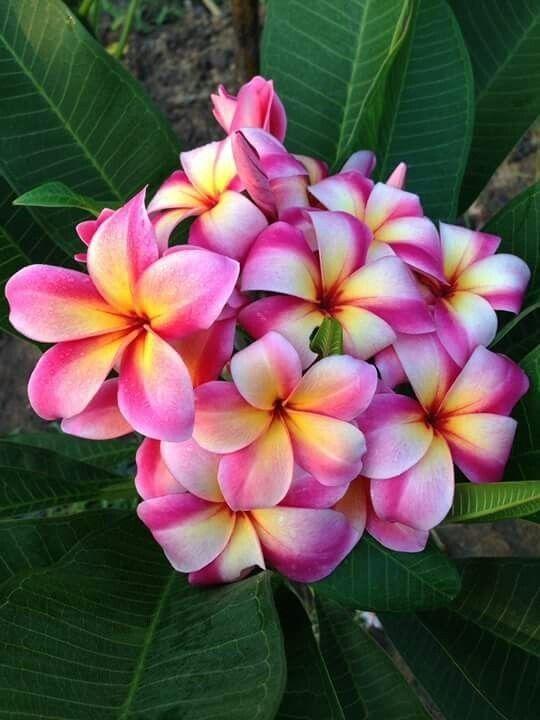 Pin By Flowers In Heart On Plumenia In 2020 Plumeria Flowers Amazing Flowers Pretty Flowers