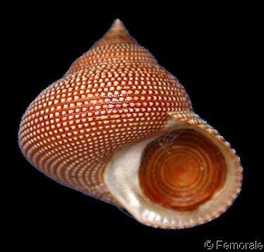 Calliostoma_punctulata_2.jpg: