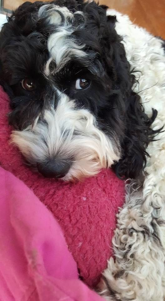 Image Result For Black Parti Cockapoo With Grey Nose