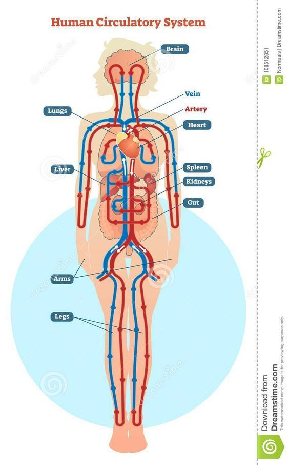 Pictures Of The Circulatory System Diagram Circulatory System Human Circulatory System Circulatory System Diseases