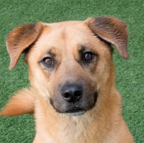 Hello There My Name Is Simon And I Am A 5 Year Old Neutered Male German Shepherd Mix I Am A Love Bug And Do Very Well With M Dogs Dog