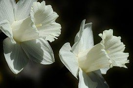 Narciso, Flor, Easter Lírio, Primavera