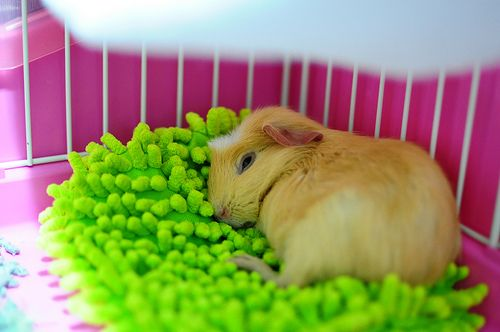 """OMG I could just buy a duster or mop and remove the soft """"bristles"""" :D  I did this for my piggies and they love it!!"""