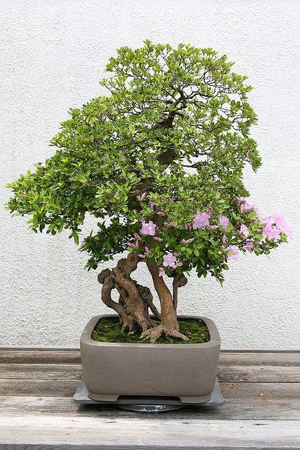 RK:Satsuki Azalea (Rhododendron indicum) 'Kunpu'   Flickr - Photo Sharing!