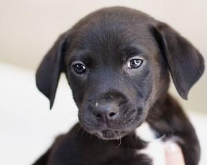 Willie is an adoptable Black Labrador Retriever Dog in Andover, MA. **Please read Willies entire profile, which includes a link to the adoption application. Thank you!** Willie is an 8 week old mixed...