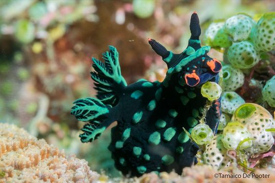 beautiful nudibranch by Tamaico De Pooter on 500px