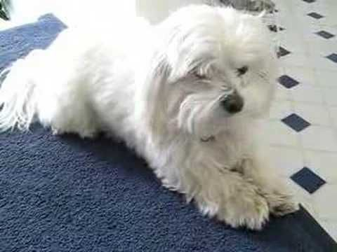 How To Teach Your Maltese Tricks Maltese Dog Care Blog