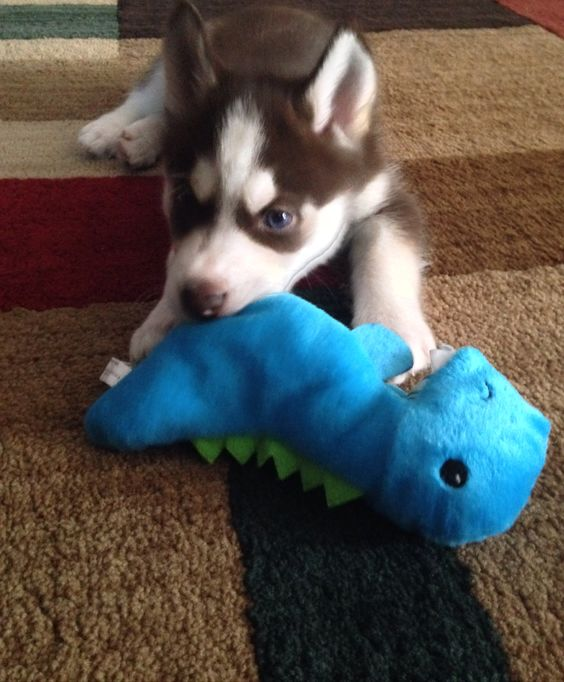 In love with this blue eyed husky pup!