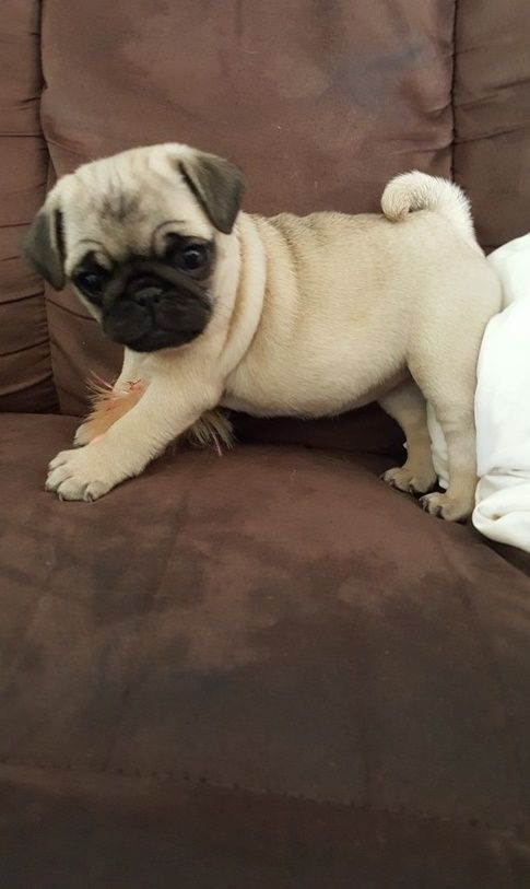 Pug Puppies For Sale Macomb Mi Pug Puppies For Sale Pug