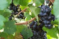 How to Care for a Concord Grape Vine | eHow
