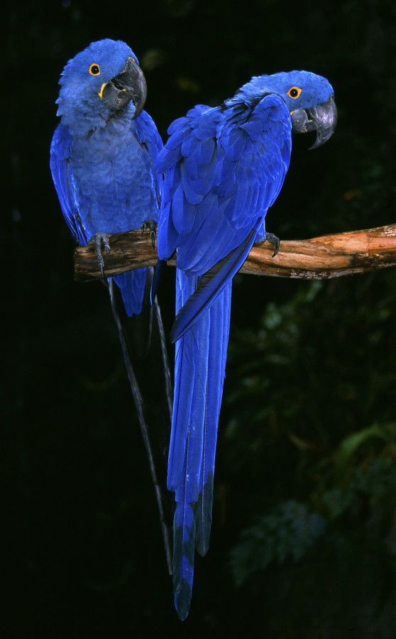 Hyacinth Macaws | Birds ☆ Photography | Pinterest | Photos