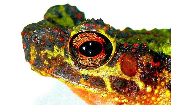 Mysterious: The Samba steam toad, also known as the Bornean rainbow toad, was only known through illustrations until photographed by scientists