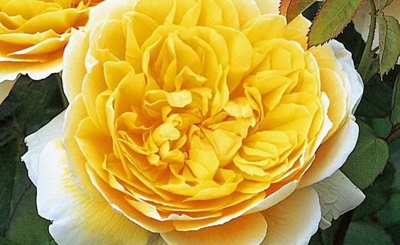 Rosen in warmen Farben -  Mit Rosen in Gelb-, Orange- und Rosatöne bringen Sie mediterranen Charakter in Ihren Garten. Wir haben sonnige Rosensorten für Sie gefunden.