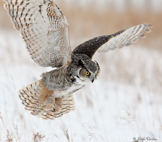 Great Horned Owl Flying Tattoo Pinterest • The worl...