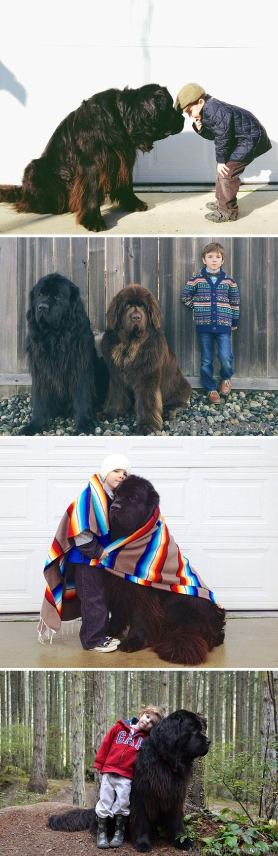 Adorable pictures of  Newfoundland Dogs!! Want Want Want big bear lap dog:) I will name you whiskey or brew