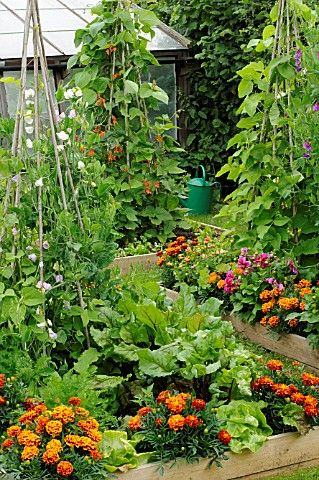 Marigolds make good companion plants to repel bugs. Tepee trellises for pole beans