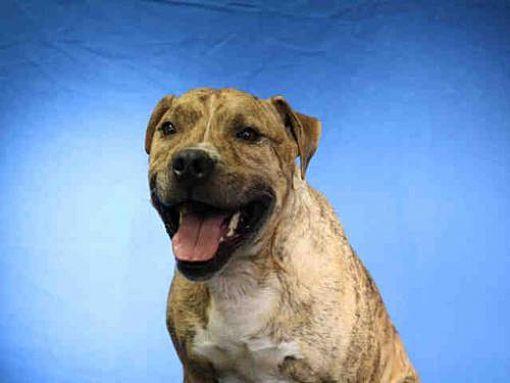 Ocala Fl Boxer Meet Boomer A Dog For Adoption Dog Adoption Kitten Adoption Pets