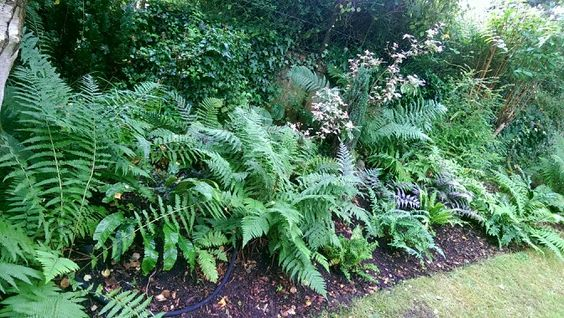 Fern borders. Simple gardening