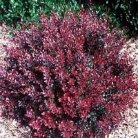 een as a negative aspect of a shrub, is actually an asset with this Barberry.  Because of its thorny nature, deer and rabbits tend to pass i...