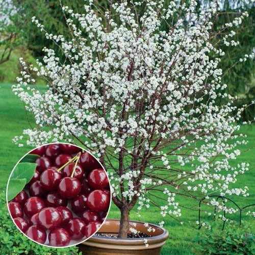 Romeo Dwarf Cherry Tree Gurney S Seed Nursery Co Cherry Plant Dwarf Fruit Trees Dwarf Cherry Tree