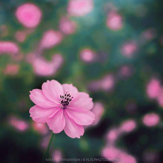 Pink October  2k16 #5uryagraphy   Nj's Photography  Tags : #pune #puneinstagrammers #rain #India #indian #season #pink #flower #flowers #nature #natgeo #nationalgeographic #natgeocreative #natgeotravel #travel #traveltales #nikon #nikkor #nikontop #wild #green #maharashtra_ig #india_gram #maharashtra  #igers #puneclickarts #picoftheday #love  #october