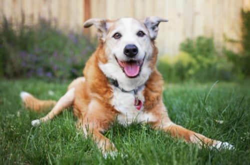 6 Ways To Help Your Old Dog Feel Young Healthiest Dog Breeds Surprised Dog Dog Joints