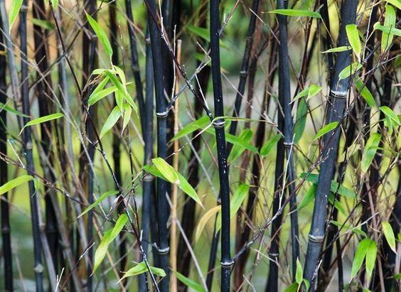 le bambou noir (Phyllostachys nigra)