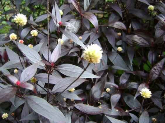 Chá de erva doril - Benefícios e indicações