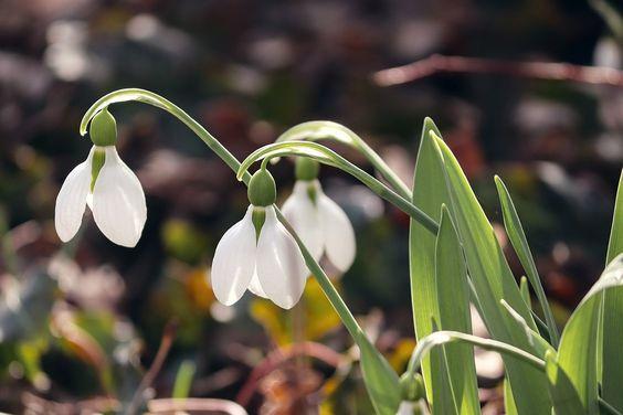 Ghiocel Primăvară Semne De - Fotografie gratuită pe Pixabay