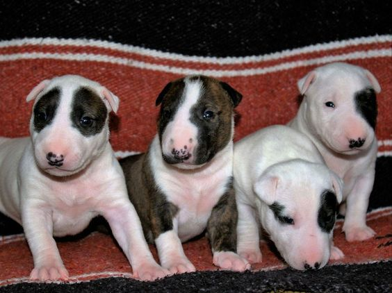 Terrier puppies north east