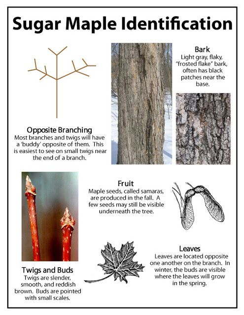 Identification Of Maple Tree For Tapping Maple Syrup