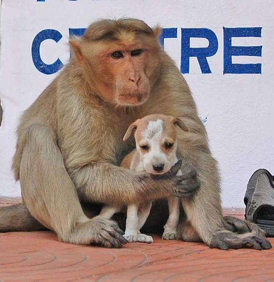 A Rode, en Inde, un singe a sauvé et adopté un petit chiot en détresse. Et depuis qu'il a pris le bébé chien sous son aile, tous deux sont devenus inséparables. Des scènes qui ont ému toute la ville, avant d'éblouir aujourd'hui le monde entier.