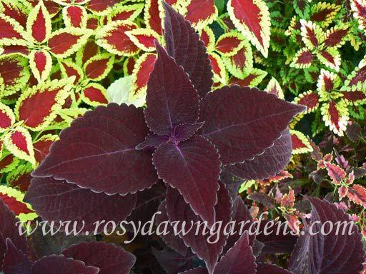 Mahogany Giant - Rosy Dawn Gardens