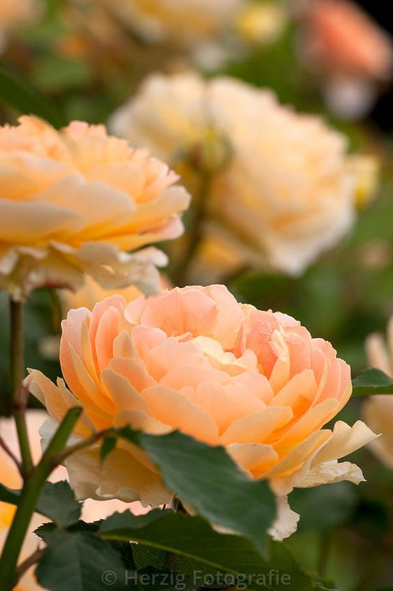 Rosa 'Molineux', rose, Strauchrose