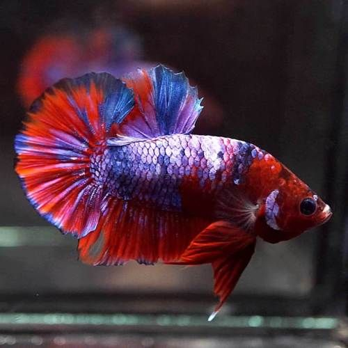 Live Betta Fish Fancy Multi Color Koi Halfmoon Plakat Hmpk Male 512