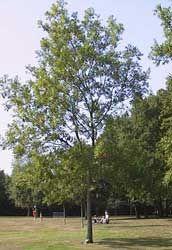 Fresno com n fresno europeo fresno negro arboles for Arbol comun