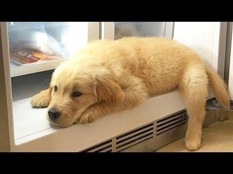 Best Of Cute Golden Retriever Puppies Compilation Doggrooming