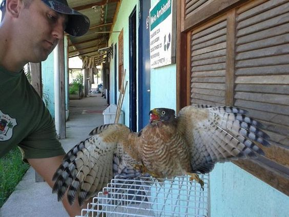 Caminho do meio...: Guarda Ambiental resgata gavião ferido em Barra de...