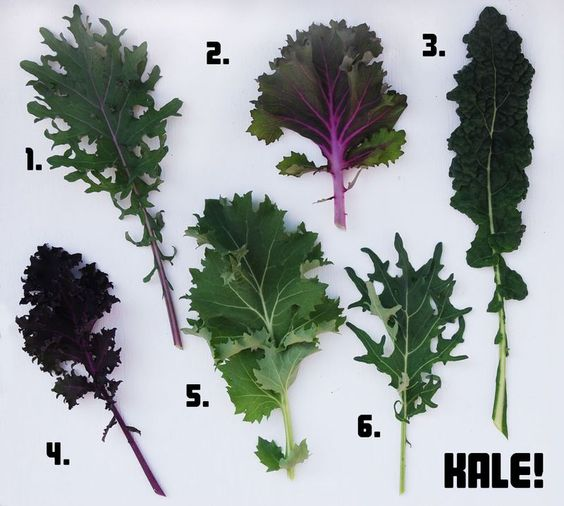 1. Winter Red 2. Red Chidori 3. Lacinato (Nero di Toscana) 4. Redbor 5. Improved Dwarf Siberian 6. Fizz    From: http://www.pigandvine.com/2013/01/garden-6-kinds-of-kale.html