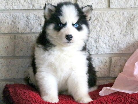 Hazel A Curious Akc Siberian Husky Puppy For Sale In Indiana