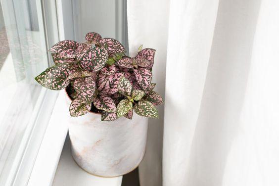 Polka dot plant, pet safe indoor plants.
