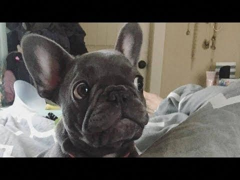 Frenchies Of Instagram Frenchies 1 Instagram Posts Videos