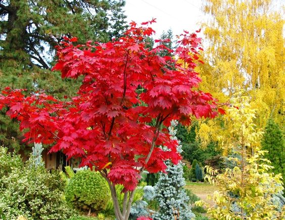 acer japonicum attaryi fall color pet memorials. Black Bedroom Furniture Sets. Home Design Ideas
