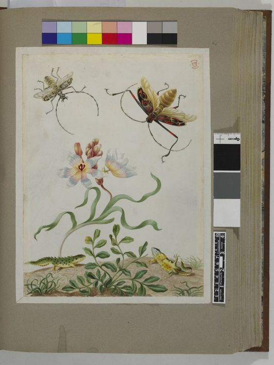 Two beetles and two newts (?), with a pale blue and pink-flowered plant, from an album entitled 'Merian's Drawings of Surinam Insects &c'; one of the newts feigning death Watercolour and bodycolour, on vellum